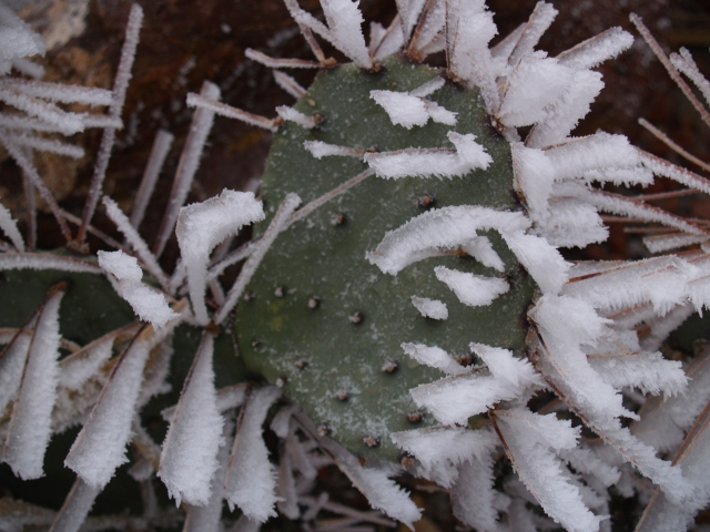 Ice on a cactus