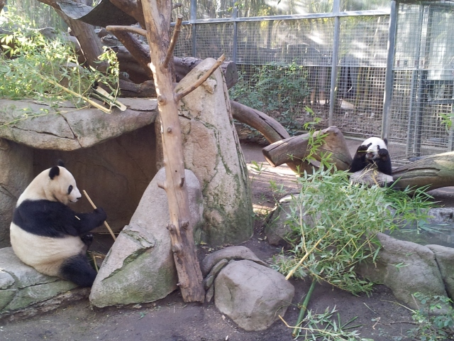 Mother and Baby Pandas. These are two of 14 in the entire country.